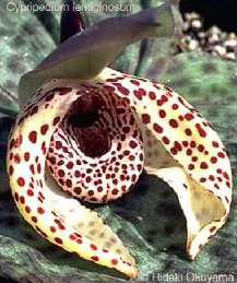 Hoa gieo tứ tuyệt 3 - Page 13 Cyp-lentiginosum2