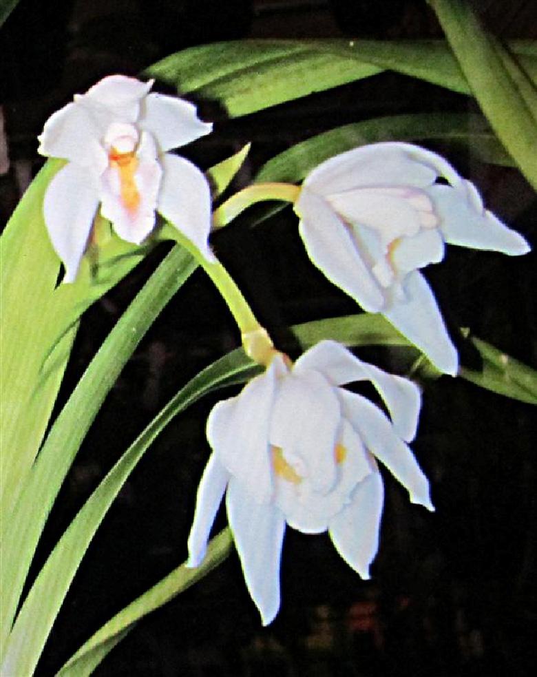 Cym. banaense1
