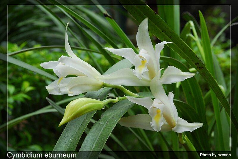 Cym. eburneum1