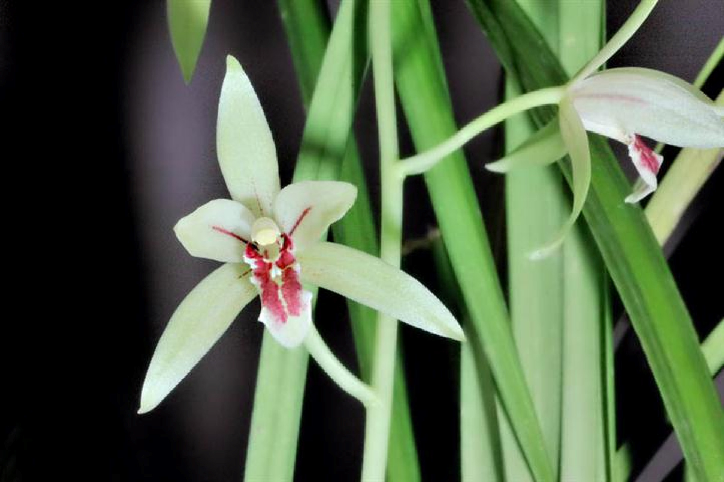Cym. ensifolium1