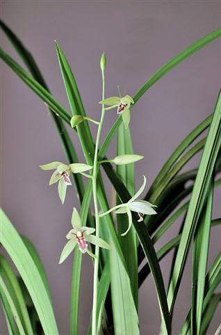 Cym. ensifolium2