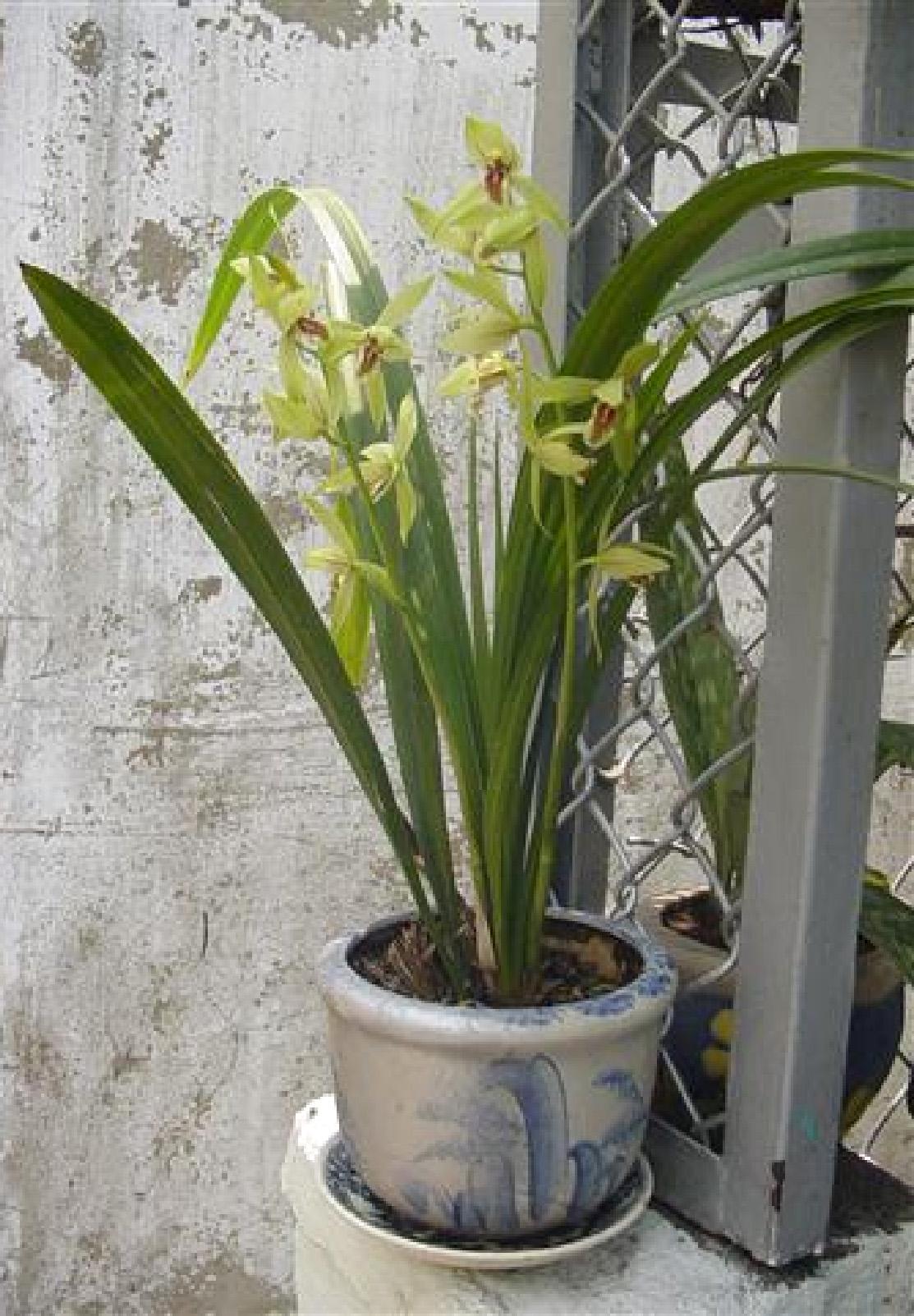 Cym. ensifolium3