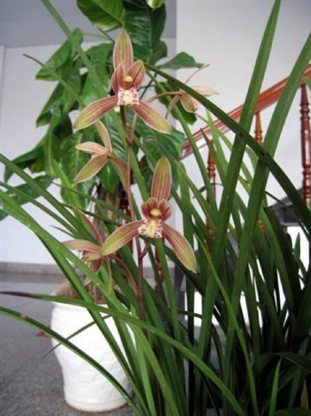 Cym. ensifolium4