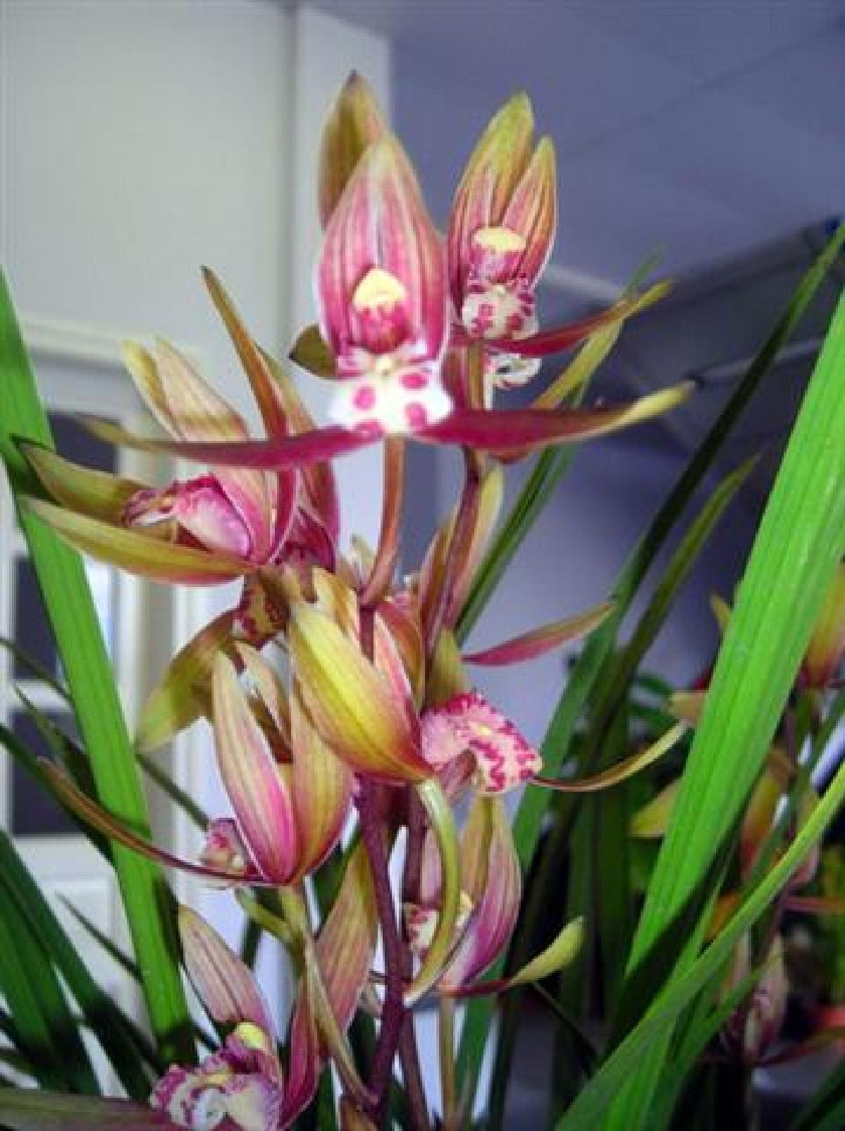 Cym. ensifolium5