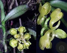 Hoa gieo tứ tuyệt 3 - Page 3 Un-lancifolia1