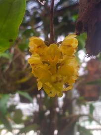 Hoa gieo tứ tuyệt 3 - Page 4 Un-obtusifolia6